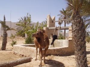 Djerba - velbloud